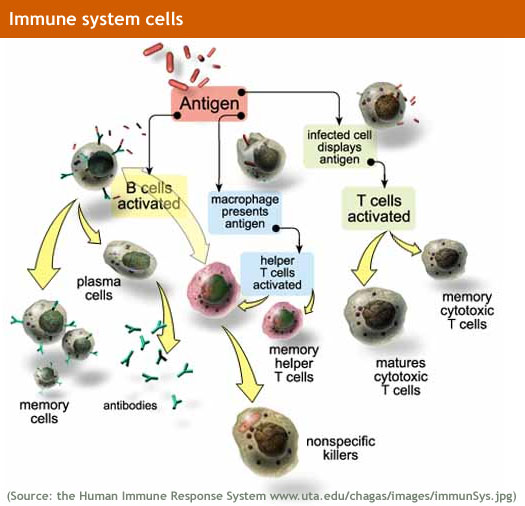 Immune_system_lg